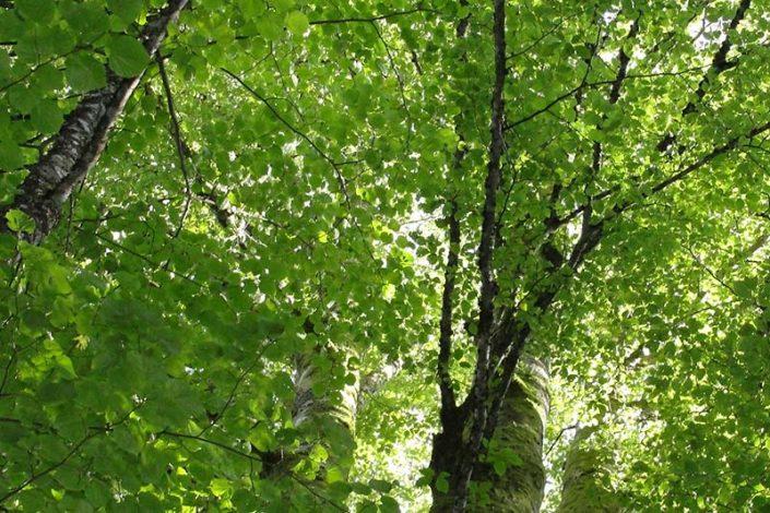 Umweltjournalismus: Buchenkrone